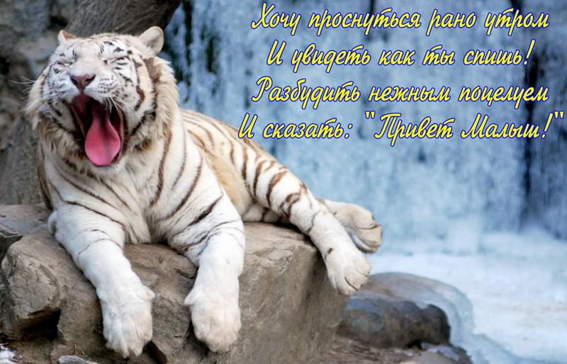 Красивая открытка с добрым утром. Зевающий белый тигр на фоне водопада. Хочу проснуться рано утром и увидеть, как ты спишь! Разбудить нежным поцелуем и сказать: